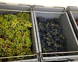 32 varieties of grapes (we think!?)
